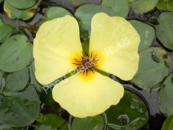 Water Poppy- Tropical Bog Plant