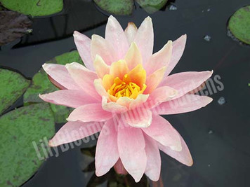 Barbara Dobbins- Peach/Orange Hardy Water Lily