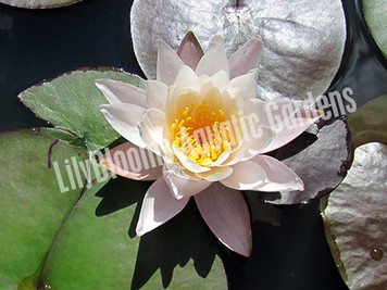 Rose Arey - Pink Hardy Water Lily