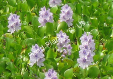 Jumbo Water Hyacinth- Floating Plant