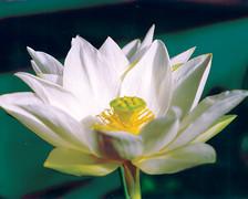 Tulip- White Hardy Water Lotus