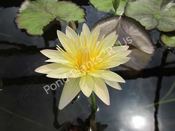 Stan Skinger- Yellow Tropical Water Lily