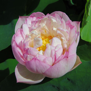 Birthday Peach - Hardy Water Lotus