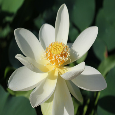 High Noon - Hardy Water Lotus
