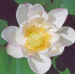 Empress- Hardy Water Lotus