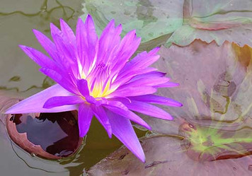 Ultra Violet - Purple Tropical Water Lily