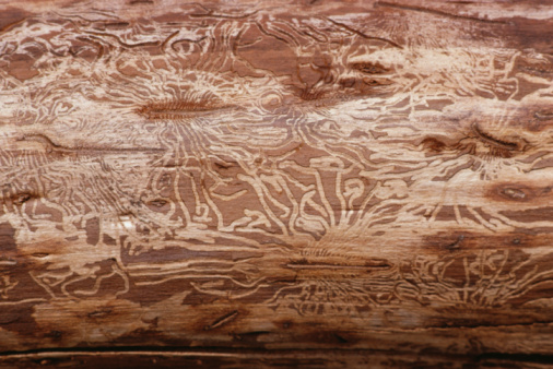 insect damaged wood