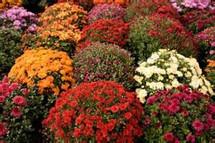 Autumn Garden Mum