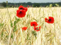 Poppies and Wild Flower Greeting Cards
