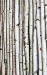 White Birch Poles