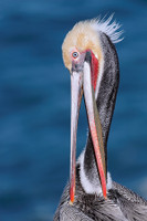Pelican Scissors Preening MP4 Photoshop Video