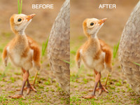 Sandhill Crane Chick Grass Blade Removal Video