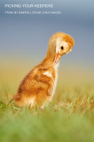 Picking Your Keepers: 361 Sandhill Crane Chick Images Video