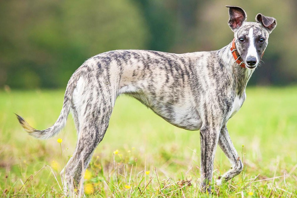 Buy Whippet Puppies For Sale Near Me In California USA