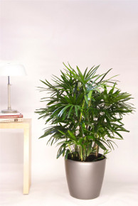 Small Lady Palm, Rhapis Palm