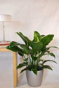 Medium Closet Plant, Peace Lily