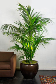 Kentia Palm | Large