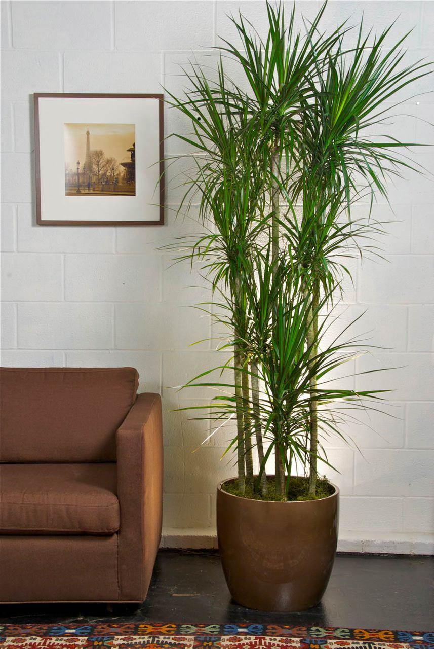 Tall Marginata, Dragon Tree - Houston Interior Plants