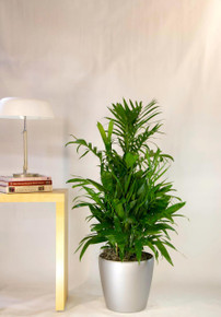 Bamboo Palm | Medium