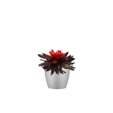 Single Neoregelia Combo
