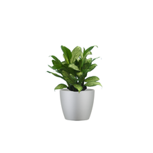 A Table Top Chinese Evergreen Combo