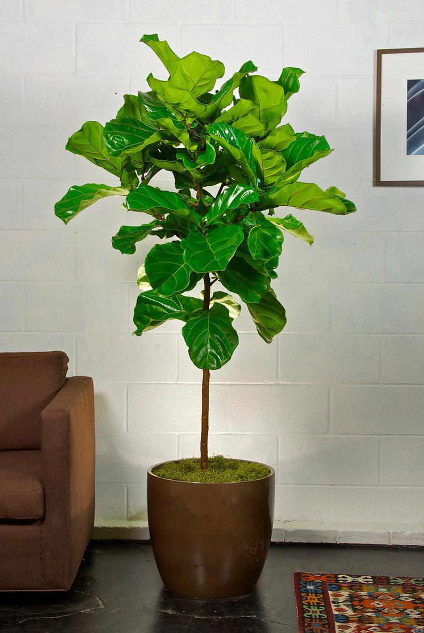Fiddle Leaf Fig Tree Houston Interior Plants