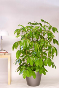Schefflera Amate or Umbrella Tree.