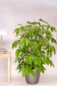 Schefflera Amate or Umbrella Tree.