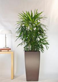 Rhapis Palm, Lady Palm