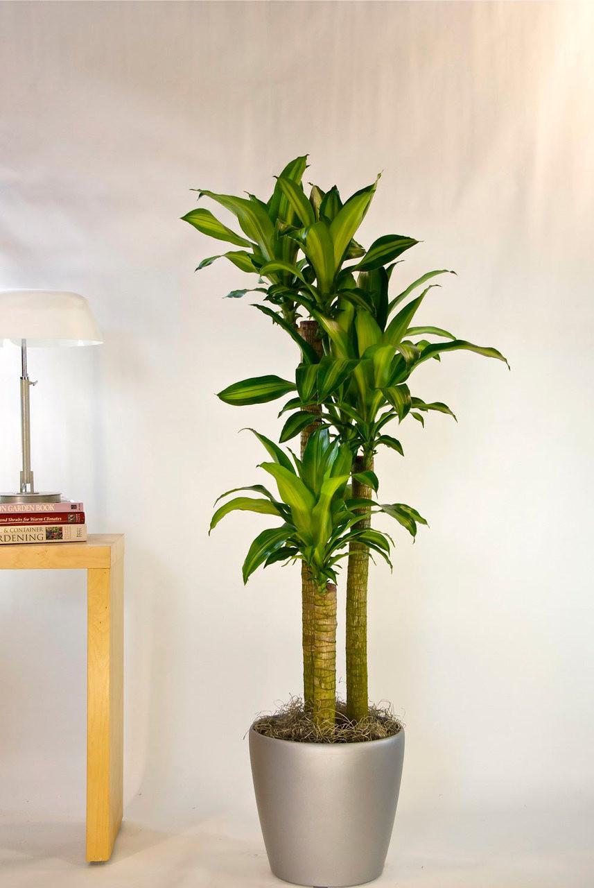 corn plant houston interior plants. Black Bedroom Furniture Sets. Home Design Ideas