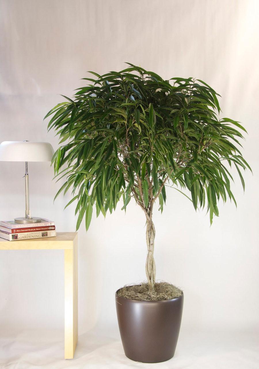 Ficus Tree Alii Houston Interior Plants