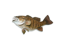 "Small Mouth Bass 3""-4"" (Per 100) Fall Stocking Only"