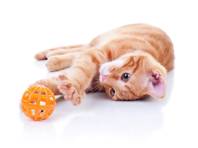 Learn how you can go about exercising a cat.