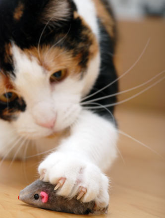 How does honeysuckle affect cats?