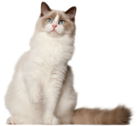 The Specific Scratching Needs Of The Ragdoll Cat Purrfectpostcom
