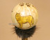 Native American Creek Indian Gourd Rattle - Wolf