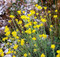 Helichrysum, France This is a very fine quality Helichrysum oil that is grown and distilled in the Mediterranean climate of Southern France.