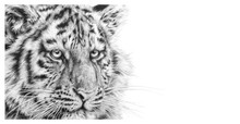 Siberian Tiger artwork