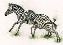 Zebra artwork by Kay Johns