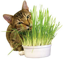 Easy Grow Oat Grass Kit