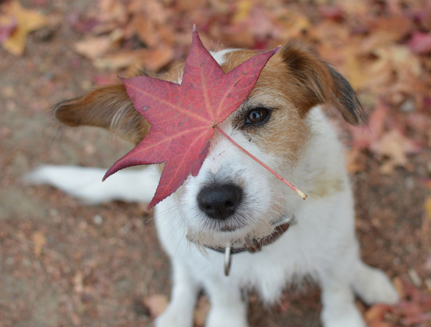 Learn some autumn safety tips for dogs.