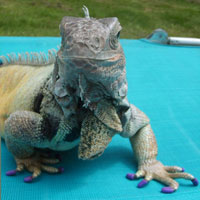 Iguanas can be fitted with Soft Paws®.