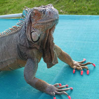 Iguanas with Soft Paws® are less likely to scratch people or belongings.