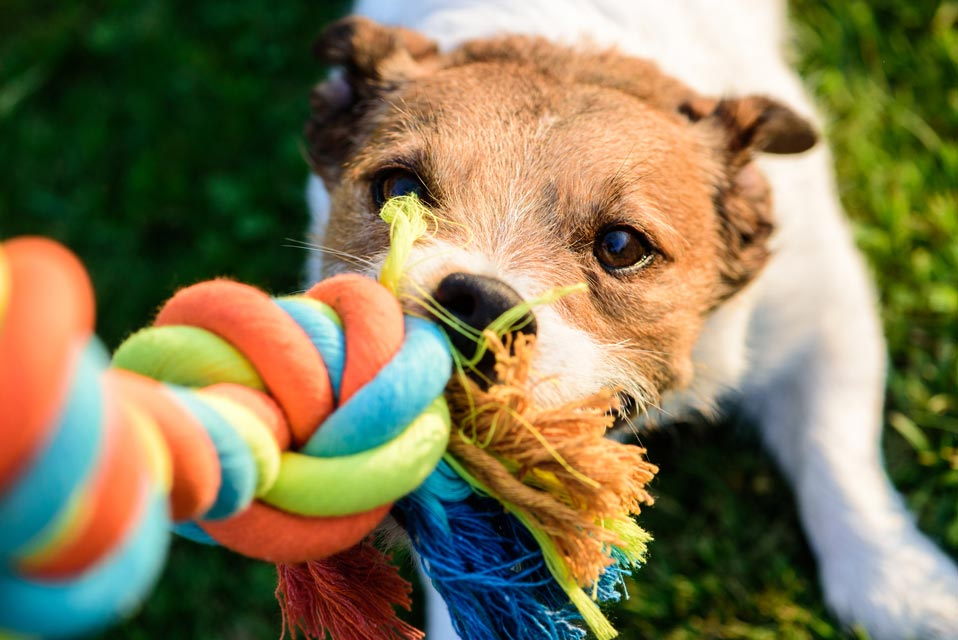 Most dogs can play tug-of-war.