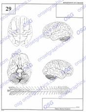 Autopsy Report Brain