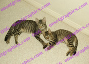 Cats 2 Gray Tabbys