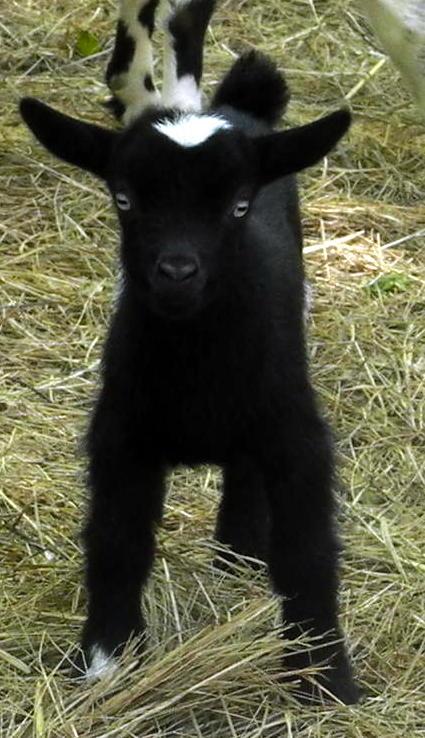 goats-sassy.jpg