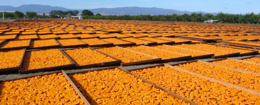 Blenheim Apricots Drying In the Sun