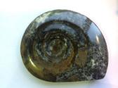 Ammonite (0451)