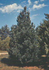 Southwestern White Pine (Containerized)